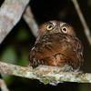 Vermiculated Screech-Owl (Megascops vermiculatus) above Waqanki Orchid Garden,  Moyabamba, San Martin, Peru