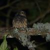 White-throated Screech Owl (Megascops albogularis) Rio Blanco Reserve, Manizales, Caldas, Columbia