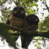 White-throated Screech Owl (Megascops albogularis) Yanacocha Reserve, Pichancha, Ecuador