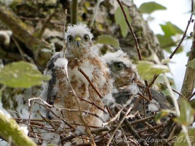 Sparrowhawk (Aylesbury)