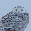 snowy owl  sm      39