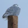 snowy owl    sm    26
