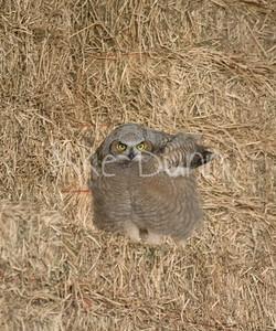 Great-Horned Owlet-15
