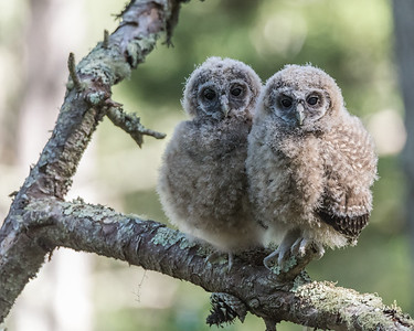 Northern Spotted Owl Fledglings at Point Reyes National Seashore.