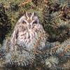 short earwed owl  sm      22
