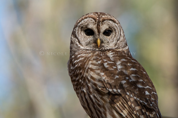 Barred Owl - 4