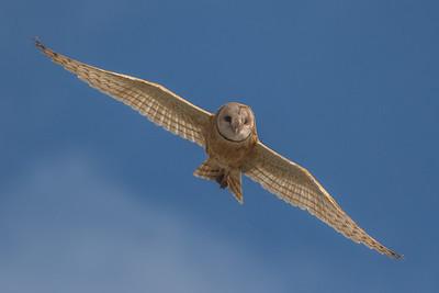 Barn Owl, Point Reyes National Seashore.