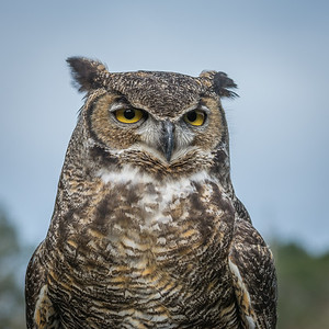 Great Horned Owl,  Point Reyes National Seashore.