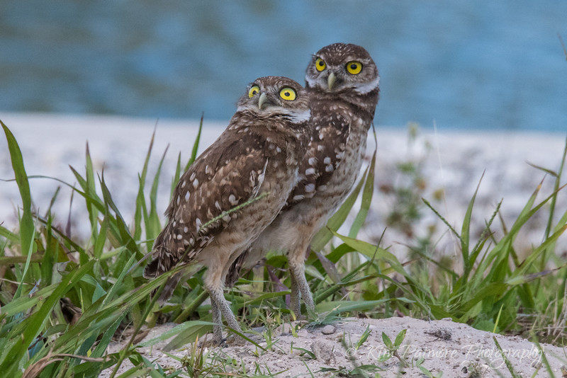 Burrowing Owlets - Incoming!