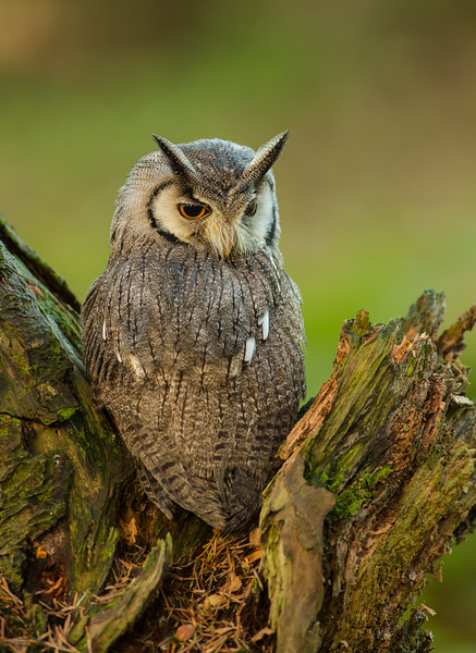 White-faced owl (Ptilopsis leucotis)