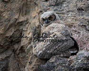 Owlet #3