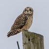 short eared owl            811a