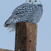 snowy owl  sm      34