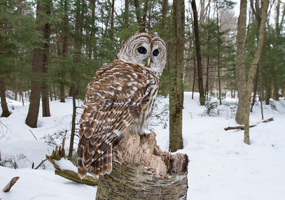 Barred Owl (Wide Angle)