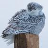 snowy owl  sm      53
