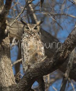 Great-Horned Owl-12
