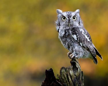 Eastern Screech Owl 3