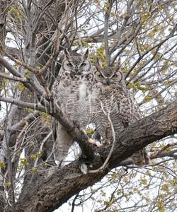Great-Horned-Owl-18