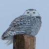 snowy owl   sm     36