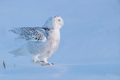 Dancing Snowy