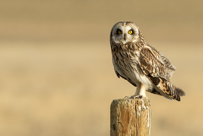 Short-eared Owl On Fencepost