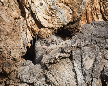 Great-Horned Owlet-7
