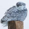 snowy owl  sm      51
