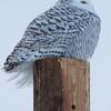 snowy owl    sm    49