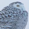 snowy owl    sm    55