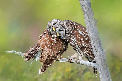 Barred Owl Couple in Central Florida