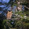 Sleeping Eastern Screech Owl Rufous Morph