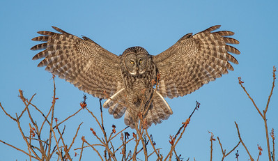 Great Gray Owl Perching on Sumac