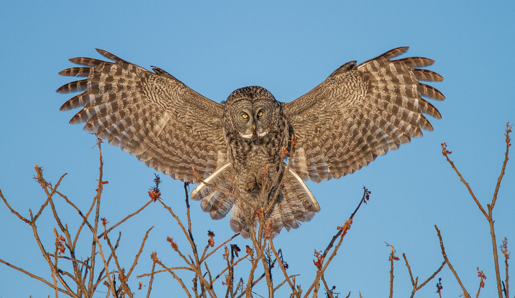 Great Gray Owl Perching on Sumac