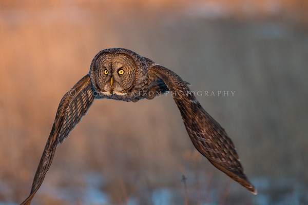 Great Gray Owl out on the hunt