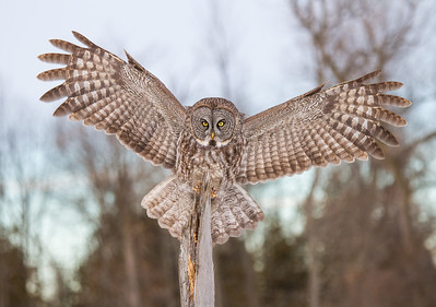 Great Gray Owl Preparing to Perch