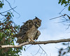 Great Horned Owl, one windy day.