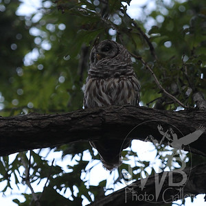 evening in QP, Barred Owl