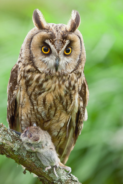 Long Eared Owl with vole