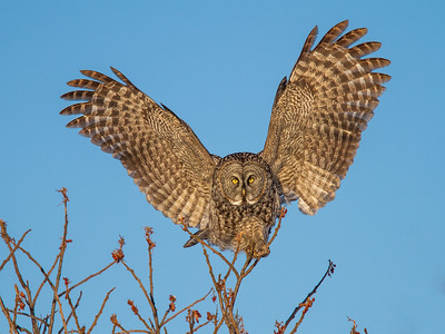 Great Gray Owl on Sumac