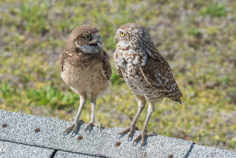 Burrowing Owl and Owlet