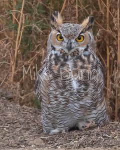 Great Horned Owl-26