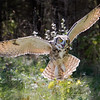 Great Horned Owl in Flight 1
