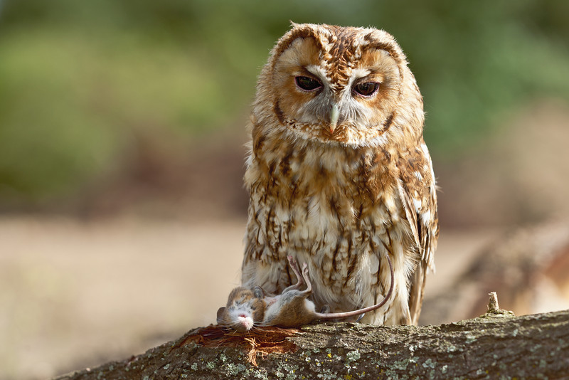 Tawny Owl on log with a mouse