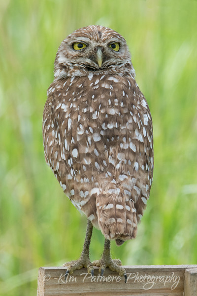 Backwards Burrowing Owl