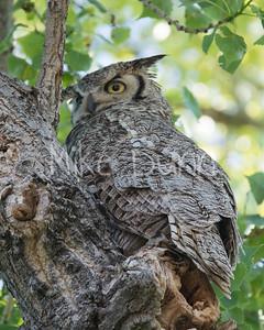 Great Horned Owl-3
