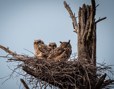 Great Horned mama & her owlets