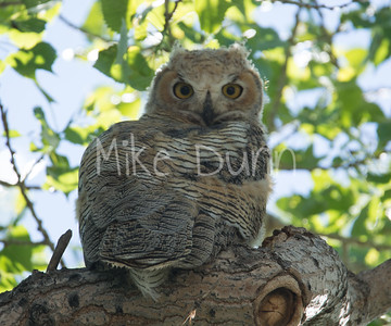 Great-Horned Owlet-3