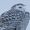 snowy owl   sm     44