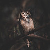 Great-Horned Owl Portrait