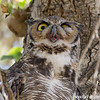Great Horned Owl on a very hot day (2015)